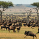 Witness the Great Migration in Tanzania this summer